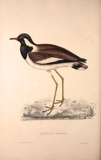 Vanellus Goensis, Plover or Northern Lapwing