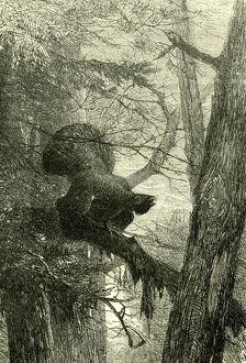 Wood Grouse, Austria, 1891