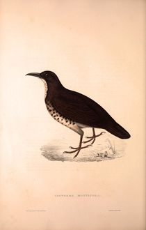 Zoothera Monticola, Long-billed Thrush. Birds from the Himalaya Mountains, engraving