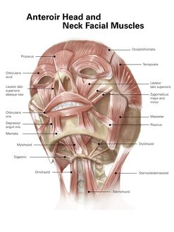 medical/anterior neck facial muscles human head with