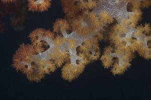 Close-up of tree coral on a Fijian reef