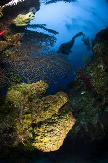 Diver swims over a reef, Belize