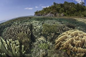 A diverse array of reef-building corals in Raja Ampat, Indonesia