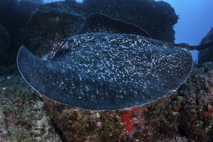 ocean life/large black blotched stingray swims rocky seafloor