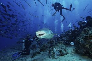 A large Lemon Shark gulps down a large tuna head in front of a crowd of divers, Fiji