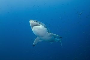 Male Great White Shark, Guadalupe Island, Mexico