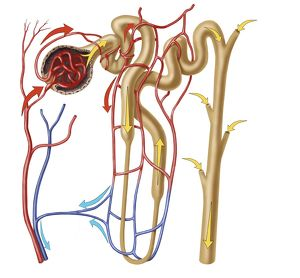 medical/nephron detail functional unit excretion human