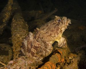 ocean life/oyster toadfish sitting inside uss indra shipwreck