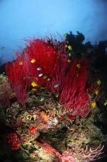 Sea whips and soft coral, Fiji