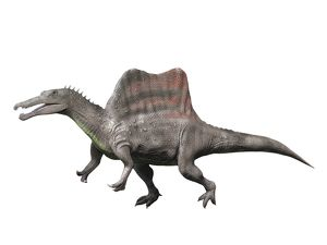 Spinosaurus is a theropod from the Late Cretaceous period