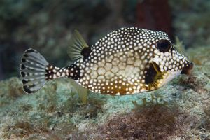 A Spotted Trunkfish, Key Largo, Florida