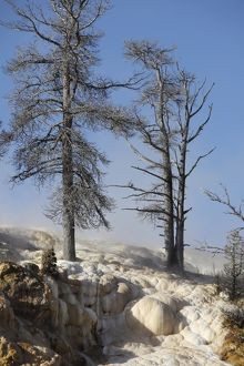 Trees in sinter terraces near Palette Spring, Yellowstone National Park