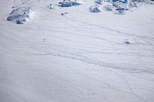 Aerial view of Emperor penguins (Aptenodytes forsteri) toboganning in the snow, Snow