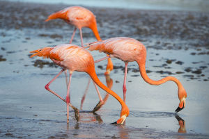 American flamingo (Phoenicopterus ruber) pair in courtship, group of three feeding