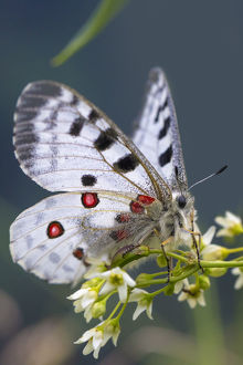 Apollo butterfly (Parnassius apollo) Nordtirol, Austrian Alps. June