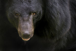 Asiatic black / Moon bear (Ursus thibetanus) portrait, captive