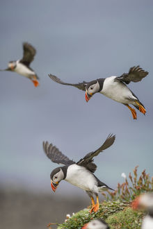 Atlantic Puffins (Fratercula arctica) flying near cliff top, Isle of Lunga, Isle of Mull