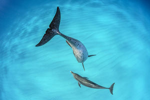 Atlantic spotted dolphin (Stenella frontalis) mother and young swimming over a shallow