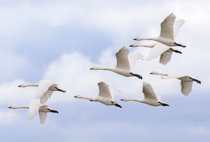 Bewick's swans (Cygnus columbianus) small flock in flight, Gloucestershire, UK