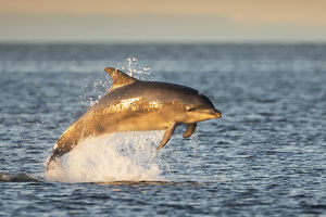 Bottlenose dolphin (Tursiops truncatus) breaching, Moray Firth, Scotland, UK, July