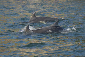Bottlenose dolphin (Tursiops truncatus) at surface, Moray Firth, Highlands, Scotland. May