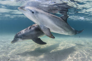 Bottlenose dolphins (Tursiops truncatus) swimming over a sandy bottom, Roatan Island