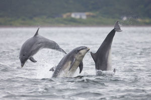 Three Bottlenose dolphins (Tursiops truncatus) breaching, Moray Firth, Scotland, UK, July