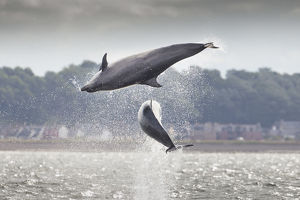 Two Bottlenose dolphins (Tursiops truncatus) breaching, Moray Firth, Scotland, UK