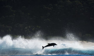 Bottlenosed dolphin (Tursiops truncatus) porpoising during annual sardine run, Port