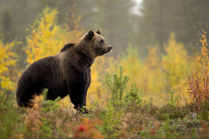 Brown bear (Ursus arctos) in autumnal forest, Finland, September