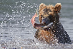 Brown bear (Ursus arctos) catching migration salmon in river, Kamchatka, Far east Russia