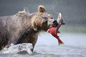 Brown bear (Ursus arctos) catching salmon in river, Kamchatka, Far east Russia, August