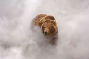 Brown bear {Ursus arctos} enjoys hot steam from a geyser in Valley of the Geysers