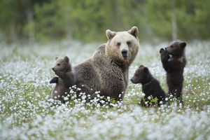Brown Bear (Ursus arctos) female and cubs playing amongst the cotton grass, Finland, June