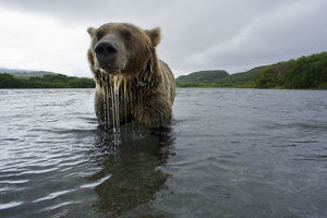 Brown bear (Ursus arctos), fishing for Sockeye salmon (Oncorhynchus nerka) in the