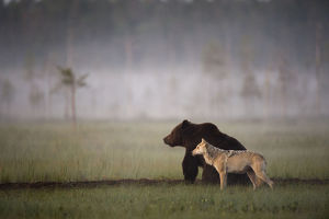 Brown bear (Ursus arctos) and Grey wolf (Canis lupus) together in wetlands, Kuhmo