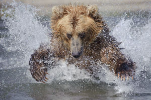 Brown bear (Ursus arctos) leaping through water to catch salmon in river, Kamchatka