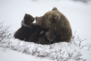 Brown bear (Ursus arctos) mother and cubs, South Kamchatka Sanctuary, Kronotsky Nature
