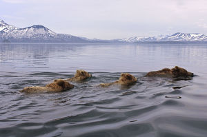 Brown bear (Ursus arctos) mother and three cubs swimming across lake, Kamchatka