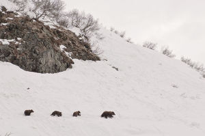 Brown bear (Ursus arctos) mother leads three cubs over hillside in snow, Kamchatka