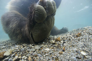Brown bear (Ursus arctos) paw seem from under water, Ozernaya River, Kuril Lake