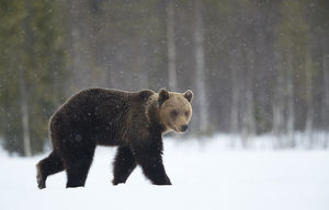 Brown Bear (Ursus arctos) in the snow, Finland, April