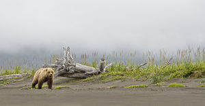 Brown bear (Ursus arctos) strolling along the beach in the rain, looking towards