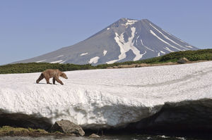 Brown bear (Ursus arctos) walking over edge of snow field with volcano in background