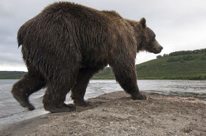 Brown bear (Ursus arctos) walking beside lake, Kamchatka, Far east Russia, August