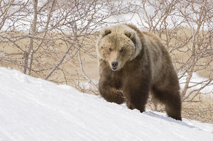 Brown bear (Ursus arctos) walking over snow, Kamchatka, Far east Russia, May