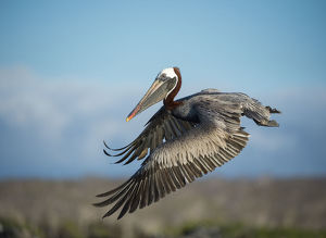 Brown pelican (Pelecanus occidentalis) in flight, Turtle Cove, Santa Cruz Island