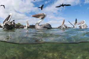 Brown pelicans (Pelecanus occidentalis) on water, split level view, Galapagos