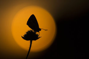 Chalkhill blue adult (Lysandra coridon) silhouetted at dusk against red sky