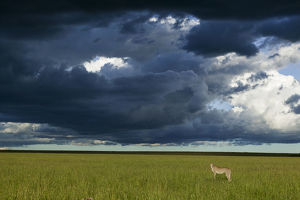 Cheetah (Acinonyx jubatus) female standing below dark storm clouds, Masai-Mara game